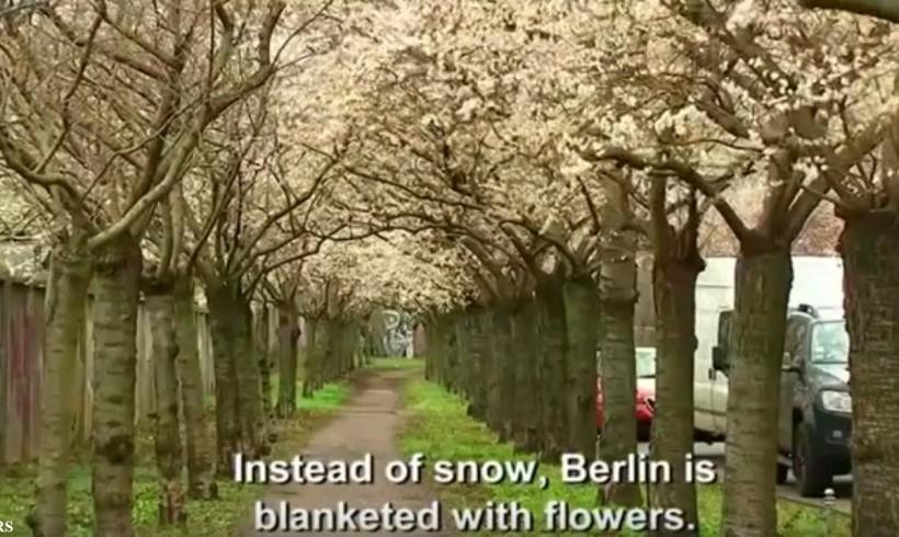 Cherry Blossoms in Berlin: 22 December 2015, Reuters News